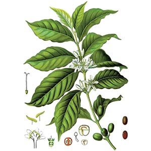 Coffee Plant Botanical Illustration