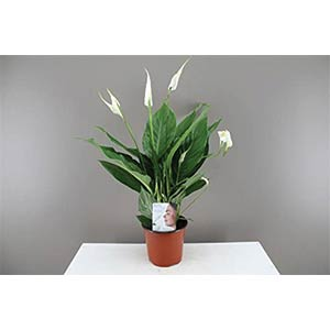 Peace Lily - Beautiful Easy Care Flower