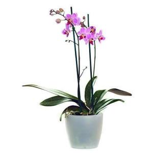 Live Orchid Plant