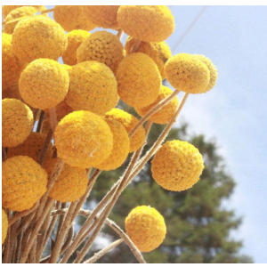 Dried Craspedia Yellow Billy Balls