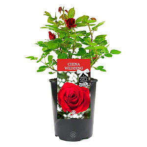 China Wedding Rose