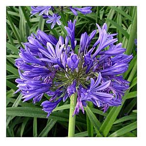 Ever Sapphire Agapanthus Plant