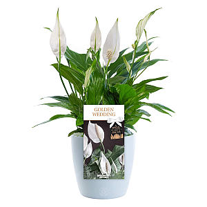 Golden Wedding Peace Lily Gift